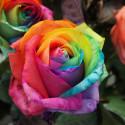 Rosa arcobaleno